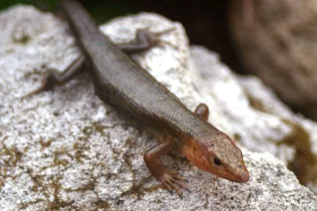 Skinks As Pets. Bermuda skinks may not give